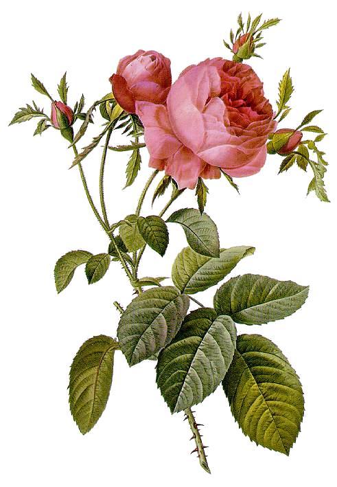 Rosa centifolia foliacea, a cabbage rose, by Pierre-Joseph Redouté